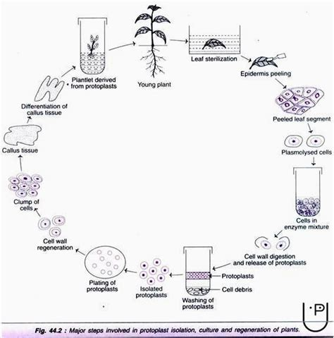 plant cell tissue and organ culture cell suspension cell suspension culture plant tissue culture techniques