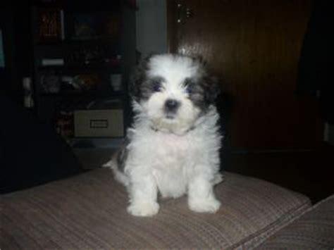 shih tzu puppies for sale in iowa city shih tzu puppies in iowa