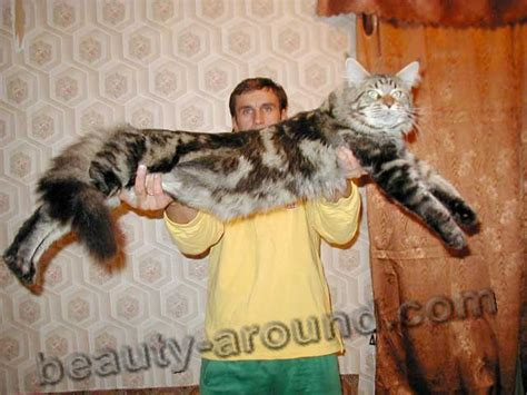 maine coon  largest breed  cats video