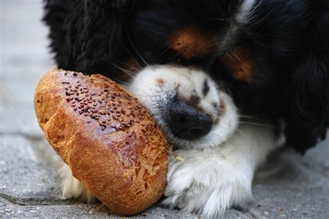 can dogs eat bread can my eat that find out what foods are toxic to canines