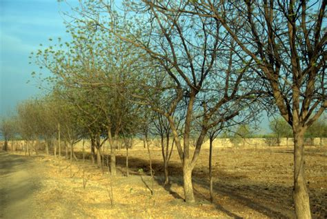 Trees That Shed Leaves by Neem Trees Shedding Their Leaves Photo