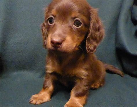 haired dachshund puppies miniature longhaired dachshund puppies rugeley