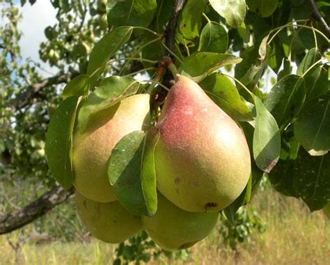 fruit tree seeds 5 seeds seckel pear tree fruit seeds fast next day