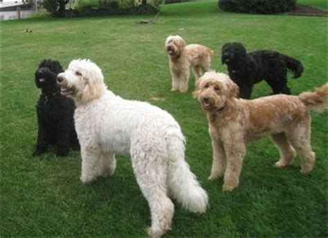 mini labradoodles michigan mini goldendoodle puppies for sale in port huron michigan
