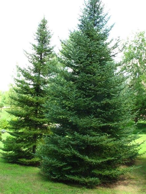 Soil Mix For Container Gardening - abies balsamea var phanerolepis bracted balsam fir canaan fir trees pinterest firs