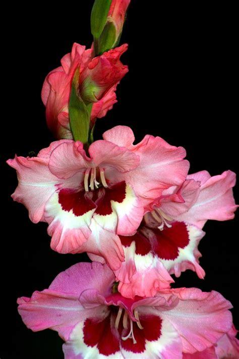 gladioli fiori bulbi da fiore piante bulbose bulbi e tuberi