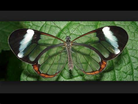 imagenes mariposas raras cosas raras curiosas e increibles de las mariposas youtube