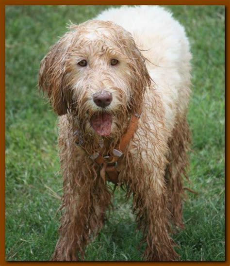 labradoodle puppy cut labradoodle grooming styles newhairstylesformen2014
