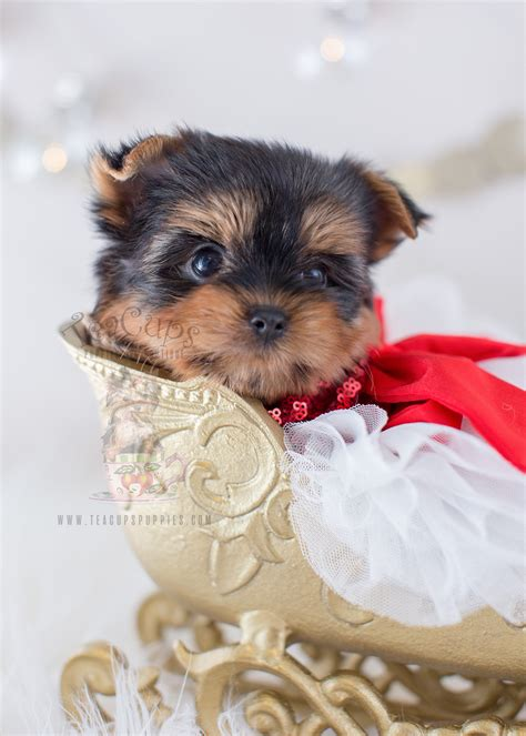 yorkie faq tiniest teacup yorkie puppy for sale teacups puppies boutique