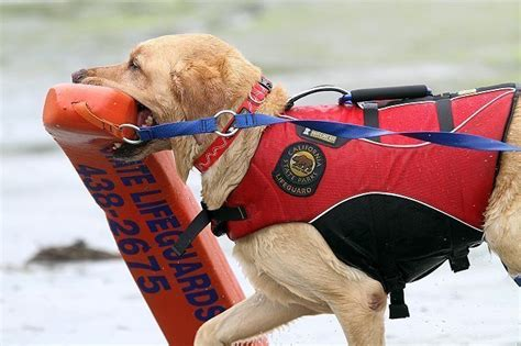 water rescue dogs water rescue dogs focus of s efforts the san diego union tribune