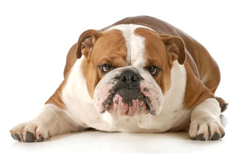 French Apartments by British Bulldog Breeders Australia British Bulldog Info