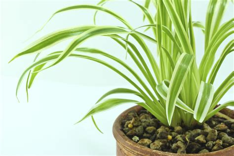 fungus gnat control on spider plant how to get rid of spider plant fungus gnats
