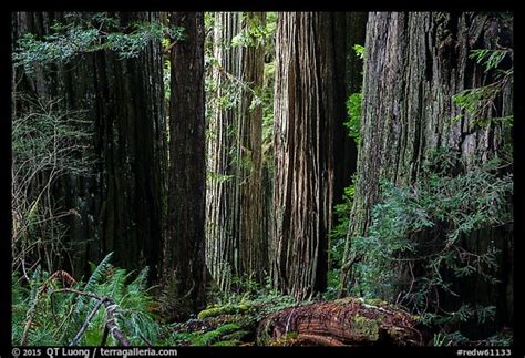 Redwood Lighting by Picture Photo Light On Trunks Of Redwood Trees
