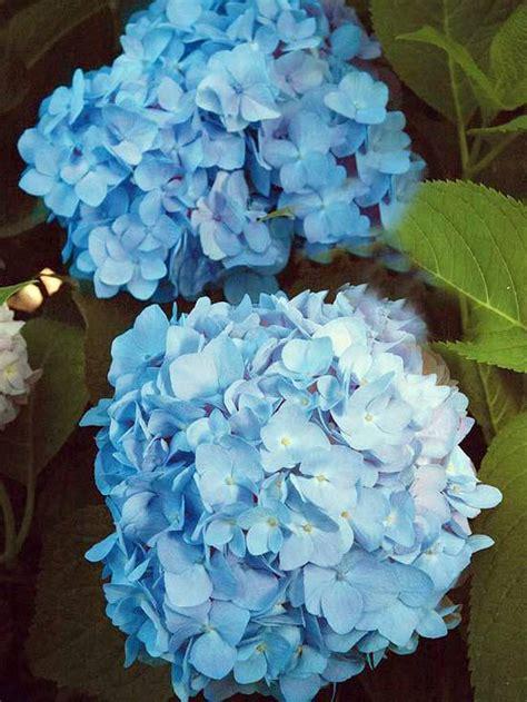 install   beautiful blue flowers   garden