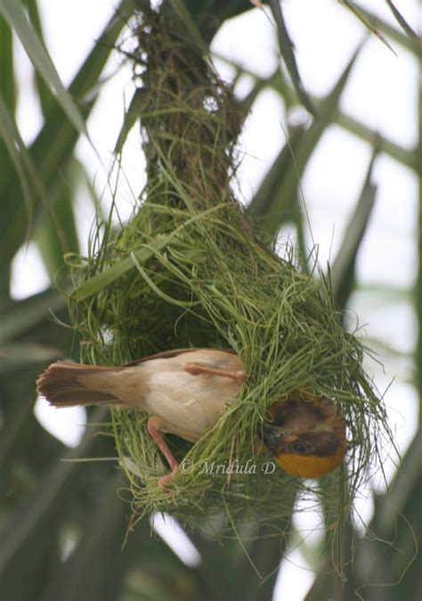 weaver bird or baya as it is known in hindi travel tales from india and abroad
