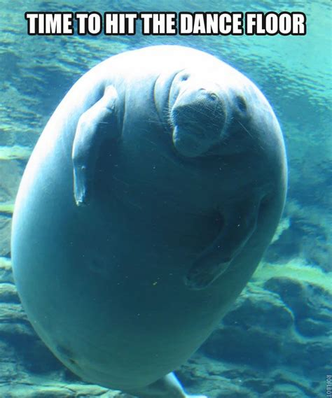 manatee meme calming manatee i m laughing so right now humor
