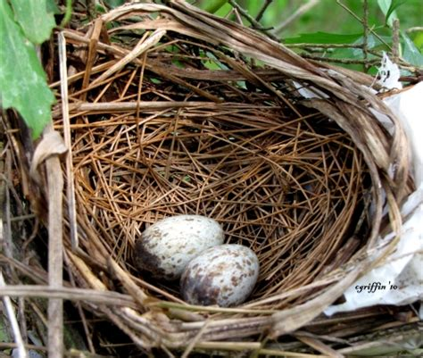 cardinal eggs color cardinal bird egg identification related keywords