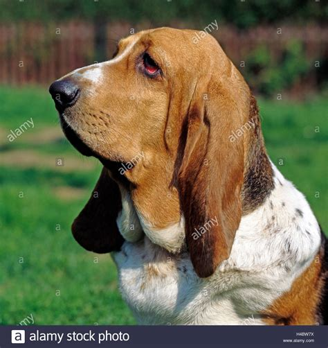 dogs with short floppy ears basset hound french short legged hound with big floppy