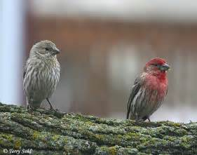 the return of the house finch sickles market
