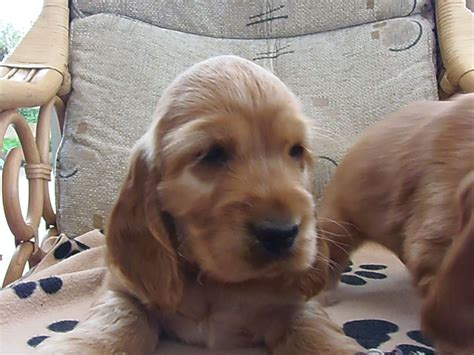 spaniel puppies for sale golden cocker spaniel puppies for sale carlisle cumbria pets4homes