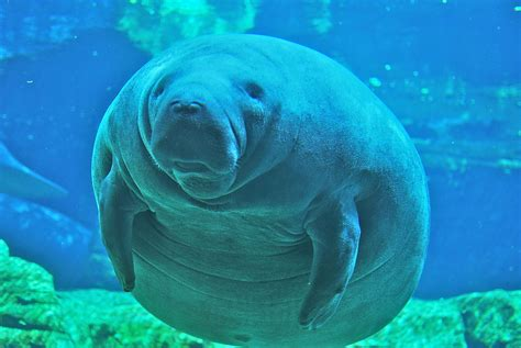 comforting manatee in 1991 sweet and mellow manatees were barely surviving