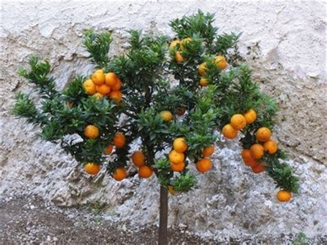 Fruit Trees In Planters by 73 Best Images About Fruit Trees On Plants