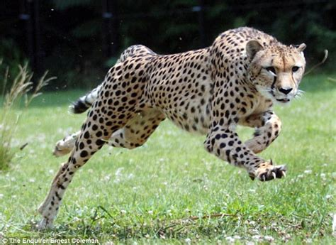 How Fast Does A Jaguar Go Cheetahs Top Speed Is Actually Around 58mph Rather Than