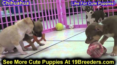 chihuahua puppies for sale in michigan chihuahua puppies for sale in detroit michigan mi waverly holt inkster