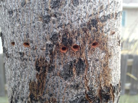 borers in a maple tree ask an expert