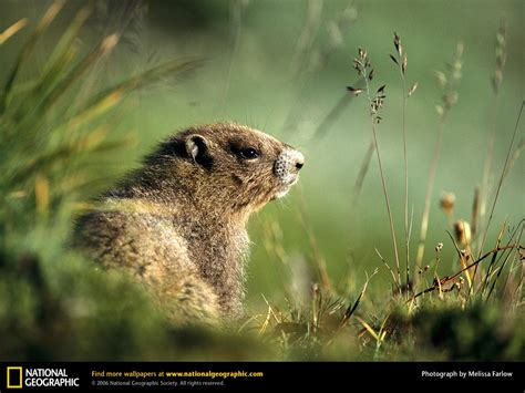 groundhog day wallpaper groundhog picture groundhog desktop wallpaper free