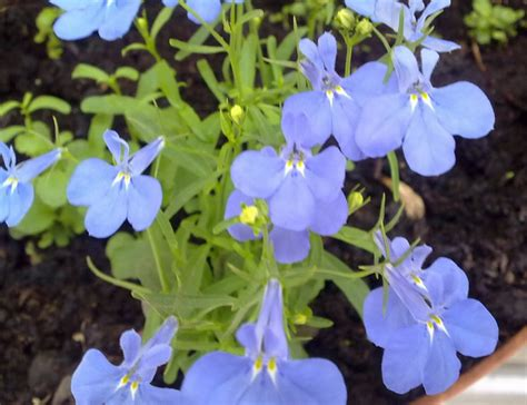 khasiat  manfaat tanaman bunga lobelia tanaman