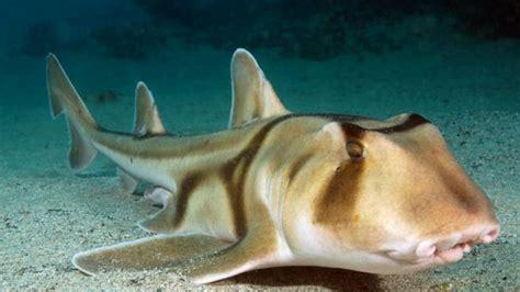 jackson shark elwood shark attack shock just a of fish n nips