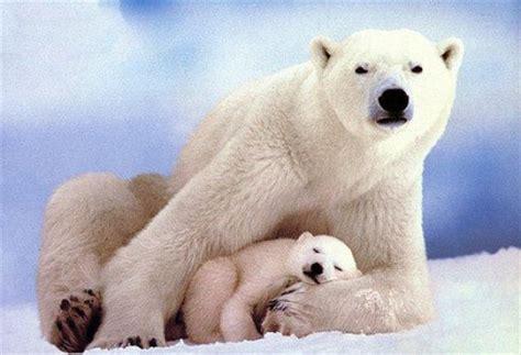 libro oso polar oso polar cuida a los animales y a los libros osos polares