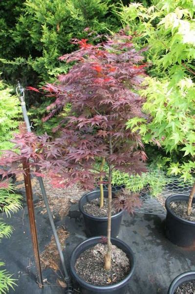 japanese maple upright red okagami  pot