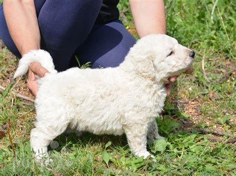 kuvasz puppies for sale caesar kuvasz puppy for sale puppy