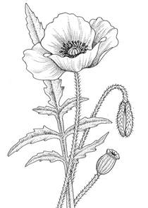 Realistic Flower Coloring Pages poppy pictures pics images and photos for inspiration