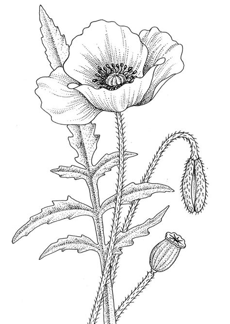 coloring pages of real flowers poppy pictures pics images and photos for inspiration