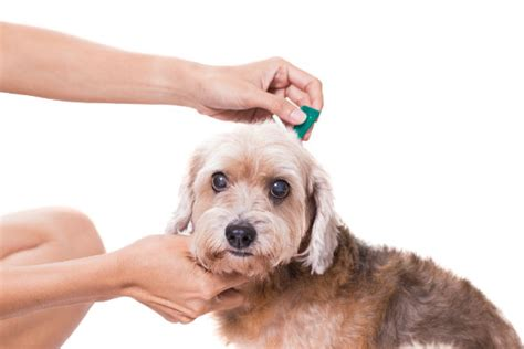 tick borne diseases in dogs tick borne diseases symptoms and prevention akc vet s corner american kennel club