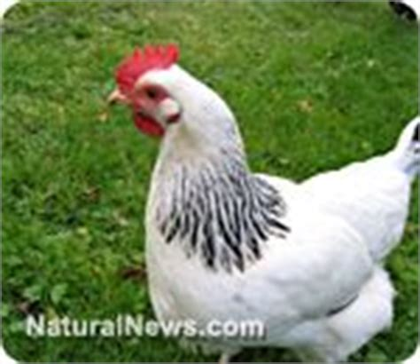 Backyard Chickens Antibiotics 1000 Images About Chicken And Rabbit Houses On