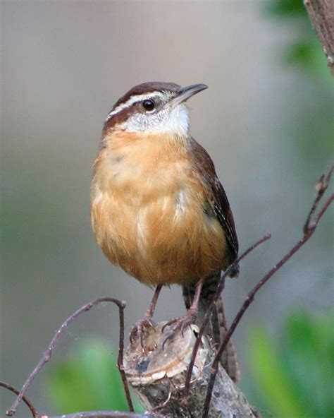 state bird of carolina south carolina state bird south carolina carolina wren for the of birds
