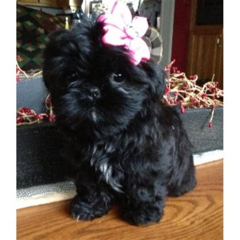 ohio shih tzu breeders shih tzu breeders in ohio freedoglistings