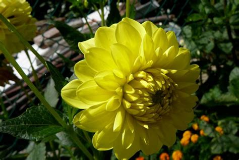 giorgine fiori la finestra di stefania dalie perdetevi nel labirinto di