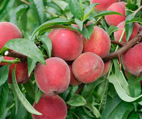 Un Pecher Arbre by P 234 Cher Commun Prunus Persica