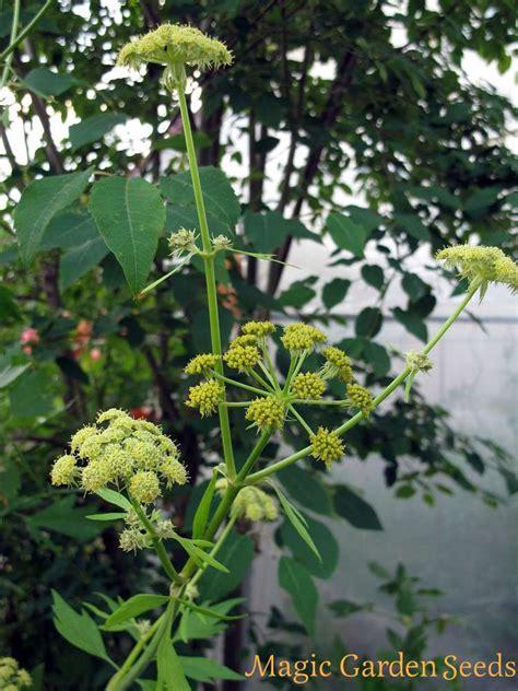 sedano di monte sedano di monte levisticum officinale sementi per