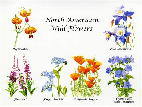 north american wild flowers poster print painting by