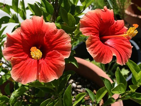hibiscus garten hibiscus indoor flower