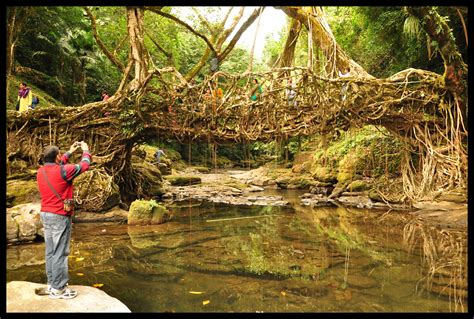 What Is Root Bridge | the root bridges of meghalaya travellenz