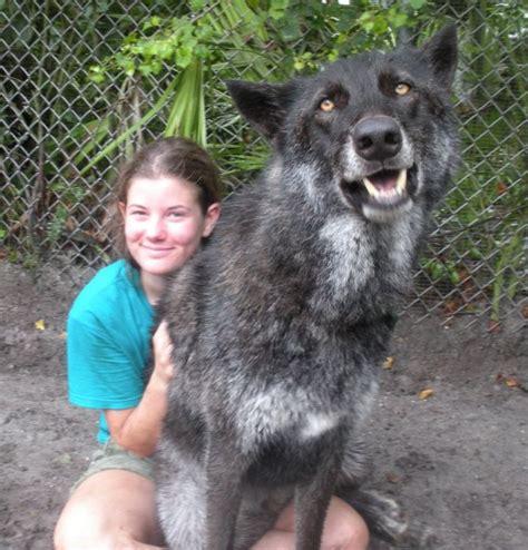 pet wolf pet wolf yuki 9 pics