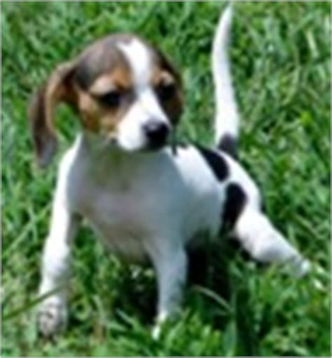 beagle puppies for sale in va beagle puppies for sale beagle breeders