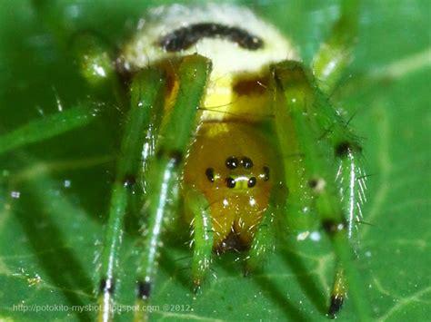 Garden Spider Scientific Name Kidney Garden Spider Araneus Mitificus